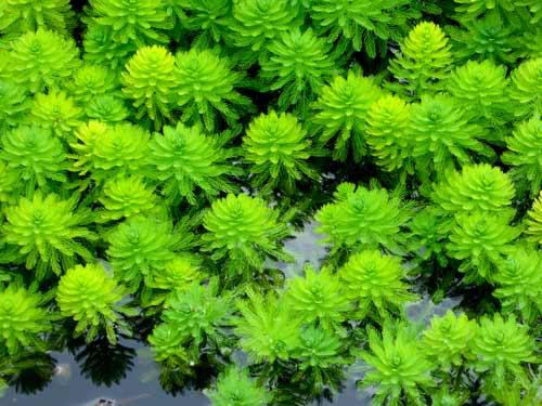WaterMilfoil(Myriophyllum spicatum)