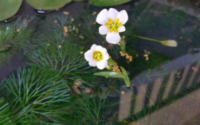 Great Oxygenating Pond Plants