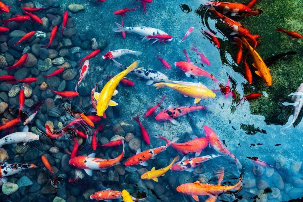 feed your goldfish