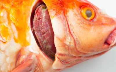 Koi Herpes Virus – What is it?